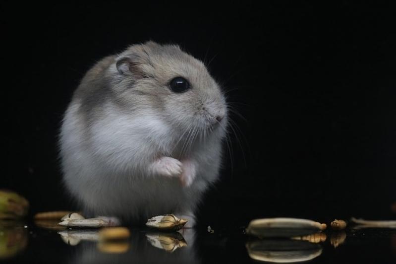 Onde Encontro Veterinário para Hamster Santa Cecília - Veterinário de Animais Silvestres