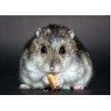 veterinário para hamster Campo Limpo