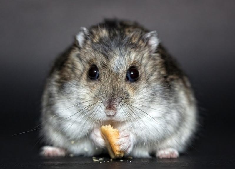 Veterinário para Hamster Jabaquara - Veterinário Animais Silvestres